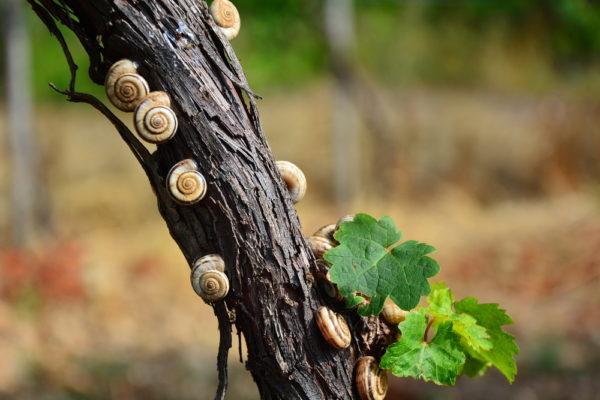 Escargots sur la vigne