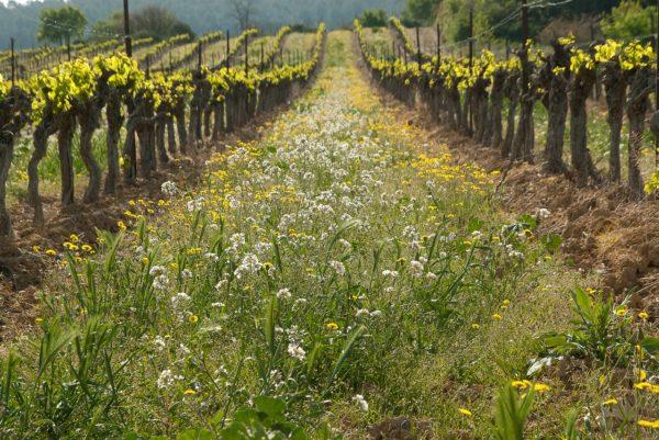 Mauvaise herbe dans les parcelles de vigne
