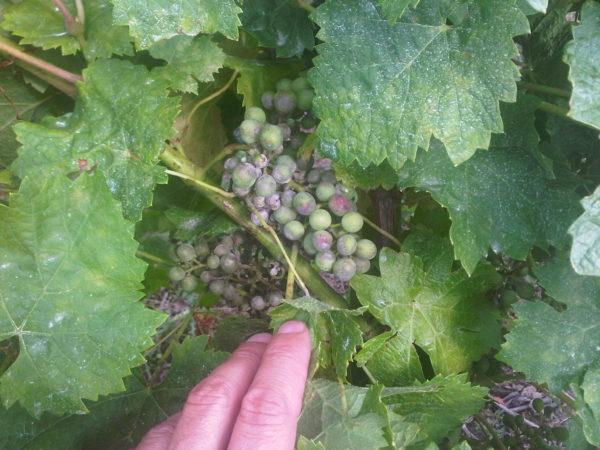 Oïdium maladie de la vigne
