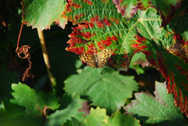Papillon dans la vigne
