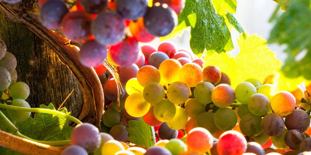 Protection de la vigne